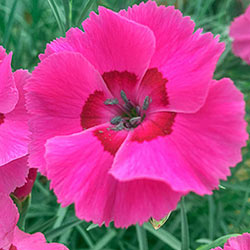Bumbleberry Dianthus
