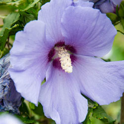 Hawaii<sup>™</sup> Hibiscus
