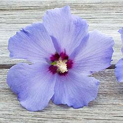 Hawaii<sup>&trade;</sup> Hibiscus