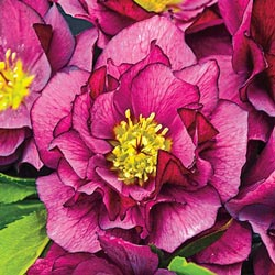 True Love Hellebore