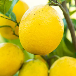 Meyer Lemon Tree Shop Fruit Trees Michigan Bulb