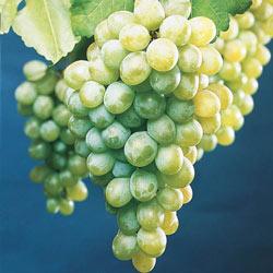 White Himrod Seedless Grapes
