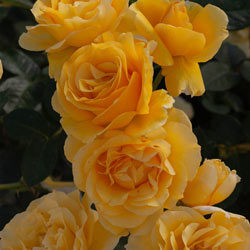 Doris Day Floribunda Rose