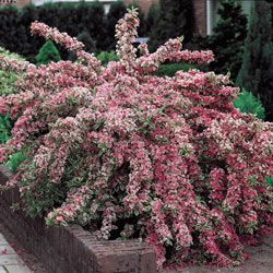 Pink Splash Variegated Weigela - Bareroot