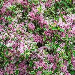 Pink Splash Variegated Weigela