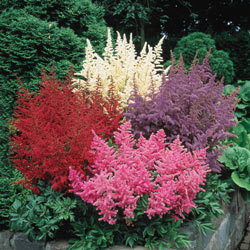 Mixed Astilbe Bargain Bag