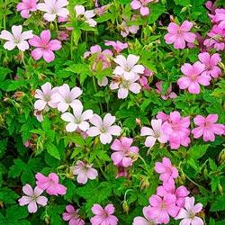 Rose Clair Geranium