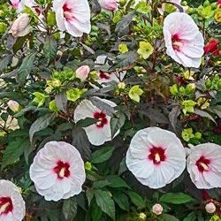 Mocha Moon Hibiscus