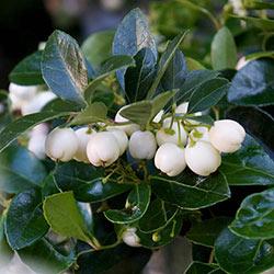 Wintergreen Peppermint Pearls