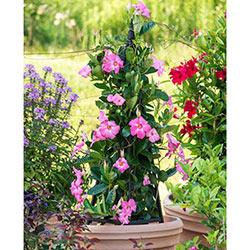 Sun Parasol® Pretty Pink Mandevilla