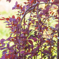 Purple Plunge® Weeping Plum