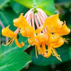 Mandarin Honeysuckle