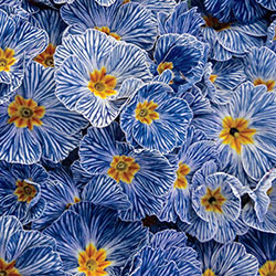 Blue Zebra® Primrose