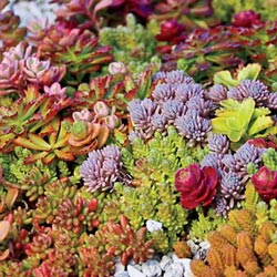 Sedum Carpet