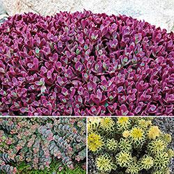 Sedum Carpet - Plant