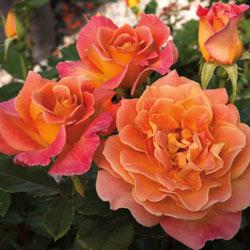 Rosie The Riveter Floribunda Rose