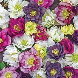 Wedding Party Double Hellebore Mix