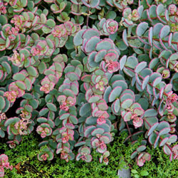 Creeping Blue Sedum