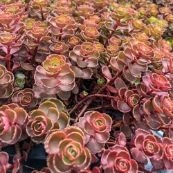Dragon's Blood Sedum