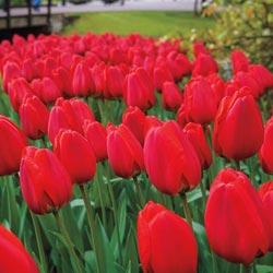 Parade Tulip