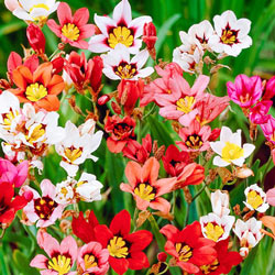 Harlequin Flower Mix