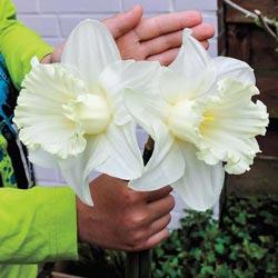 Mount Hood Trumpet Daffodil
