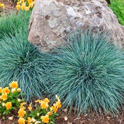 Blue Festuca Grass