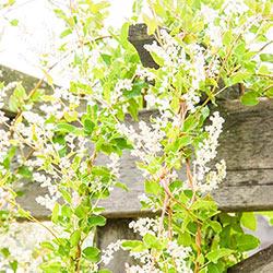 Silver Lace Vine