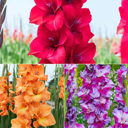 Summer Fun Gladiolus Mix