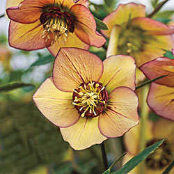 Tropical Sunset Lenten Rose