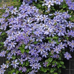 Blue Pillar Clematis