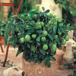 Citrus Key Lime Tree