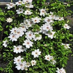 The Queen Jadwiga Clematis