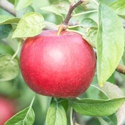 Michigan Mac Super Dwarf Apple