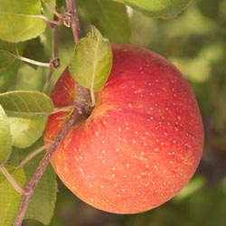 Red Fuji Super Dwarf Apple