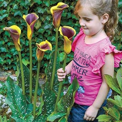 Royal Robe Giant Calla Lily