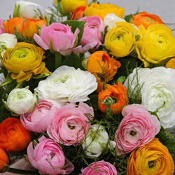 Mixed Ranunculus