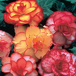 Picotee Begonia Mix