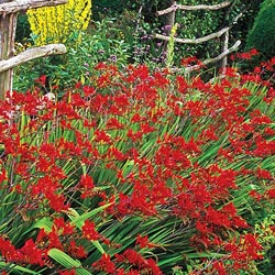 Lucifer Crocosmia