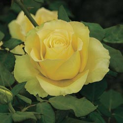St. Patrick Hybrid Tea Rose