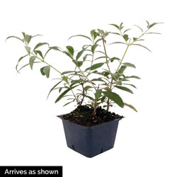 3-In-1 Butterfly Bush