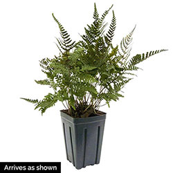 Godzilla Japanese Painted Fern