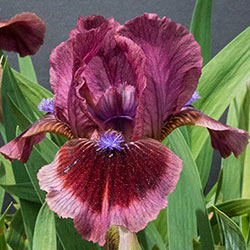 Cat's Eye Miniature German Iris