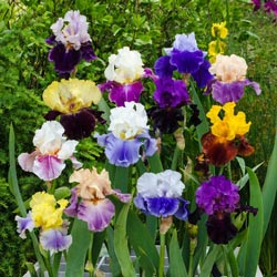 Extended Bloom Iris Mix