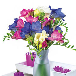 Cool Breeze Freesia Blend