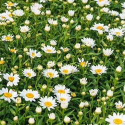 Alaska Shasta Daisy