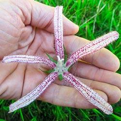 Pink Octopus Campanula