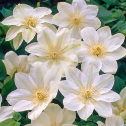 White Wall Of Flowers Clematis