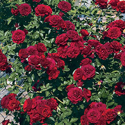 True Love Climbing Rose Collection