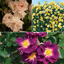 Spring Showers Climbing Rose Collection